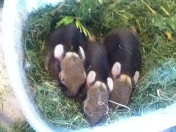 Mes trois petit lièvre