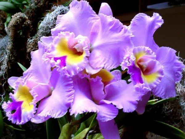 Offrir des orchidées roses ou mauves pour la tendresse et la séduction