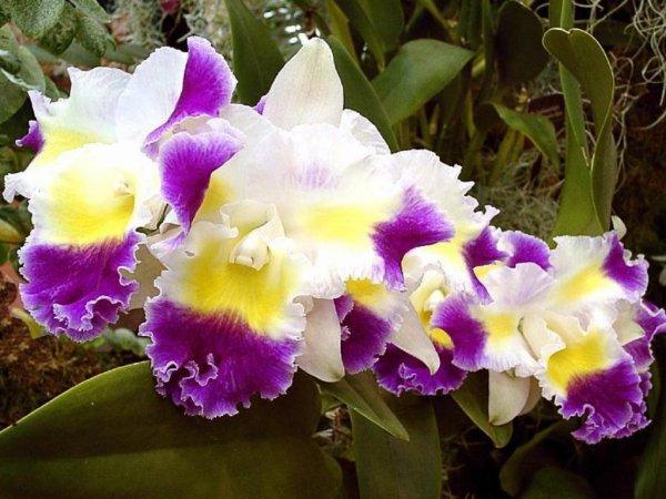 Offrir des orchidées bleues, symboles de pureté et d'espoir