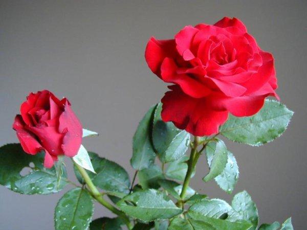 Rouge   Le fait que la rose rouge est le symbole de l'amour n'a rien de bien secret. La Fête de la St-Valentin n'existerait guère sans cette fleur audacieuse et dramatique. Symbole ultime de l'amour romantique et de la passion durable, la rose rouge est un gage de respect et rappelle l'esprit créatif de l'amour. Représentant l'amour vrai plus fort que les épines, la rose rouge est connue universellement comme étant la rose des amoureux..