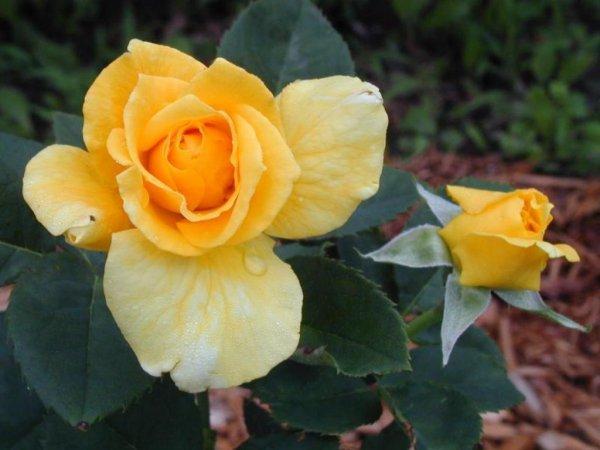 Blanches, rouges, roses… quelle que soit la couleur des fleurs, un bouquet de roses fera toujours plaisir à votre destinataire.