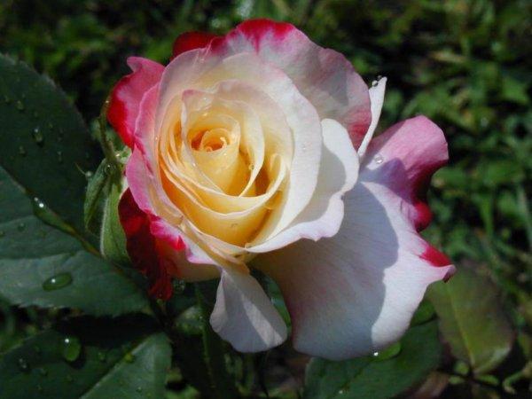 Roses multicolores   Parfois - habituellement lorsque vous mélangez le rouge avec une autre couleur de rose- vous pouvez envoyer des messages additionnels selon votre choix de bouquet. Par exemple, une combinaison de roses rouges et jaunes évoquera la joie et le bonheur, alors qu'un mélange de roses rouges et blanches symbolise l'unité.