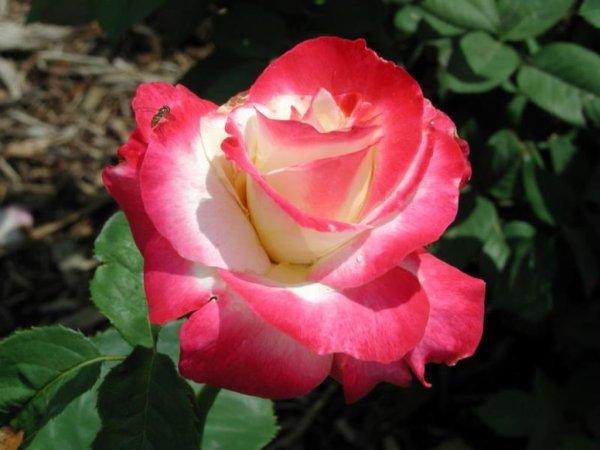 Les roses de couleur rose servent à exprimer un amour plus tendre et doux à l'inverse des roses rouges. Si par exemple vous êtes en couple avec une personne depuis un certains temps et que vous vous sentez épanoui, ces roses seront adaptées pour exprimer un amour sincère et durable. Exprimez votre bonheur avec des roses roses.