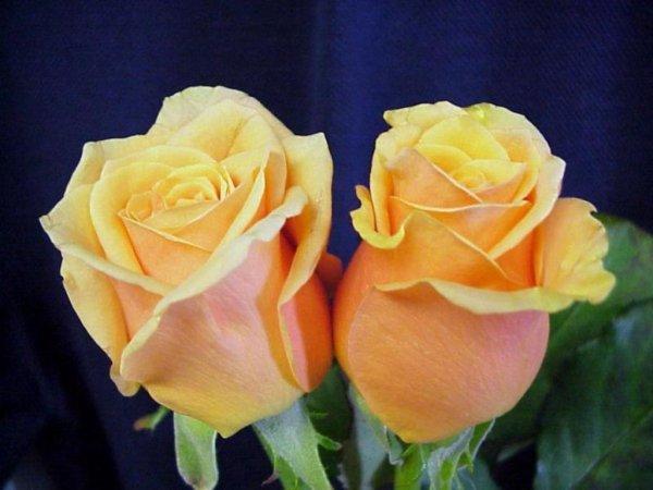Jaune   À l'époque victorienne, la rose jaune symbolisait la jalousie. De nos jours, elle représente l'amitié, la joie et la bienveillance. Un bouquet de ces fleurs remplies de soleil est gage de chaleur, de joie et d'affection.