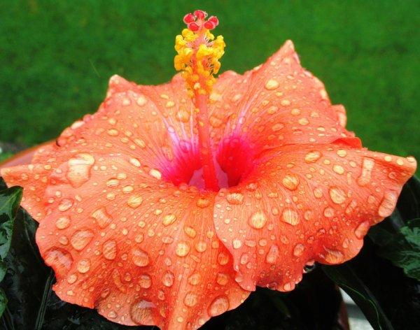 Hibiscus  avec des gouttes d'eau