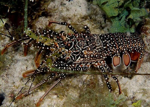 Le homard -sous marin et grillée