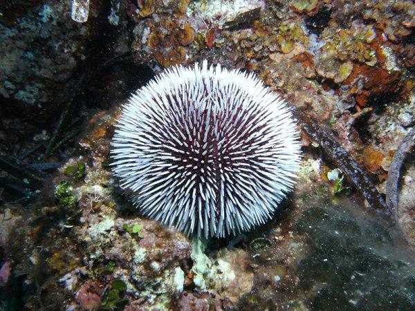 Oursins - Monde sous-marin  et le Blaff