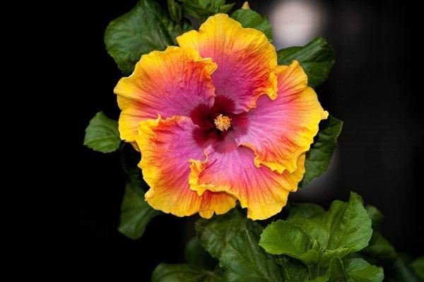 Avec ses fleurs exotiques et spectaculaires, l'hibiscus évoque le soleil et les vacances. Il connaît donc une côte de popularité annuelle, avec un pic en été. On le cultive en pot ou en pleine terre, à l'intérieur comme sur une terrasse ou dans un jardin.