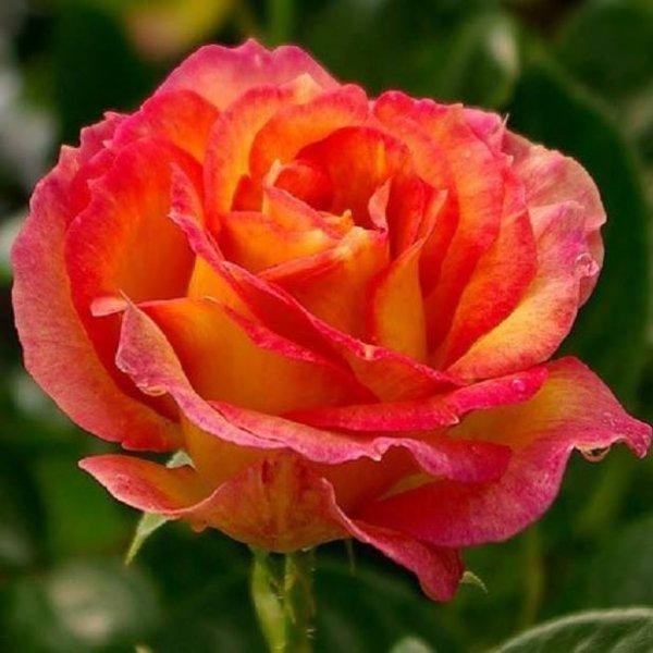 L'hibiscus est la fleur de l'amour. A Tahiti, cette fleur est portée par les jeunes femmes sur l'oreille droite si celle-ci est un coeur à prendre; et sur l'oreille gauche, si il est déjà pris.