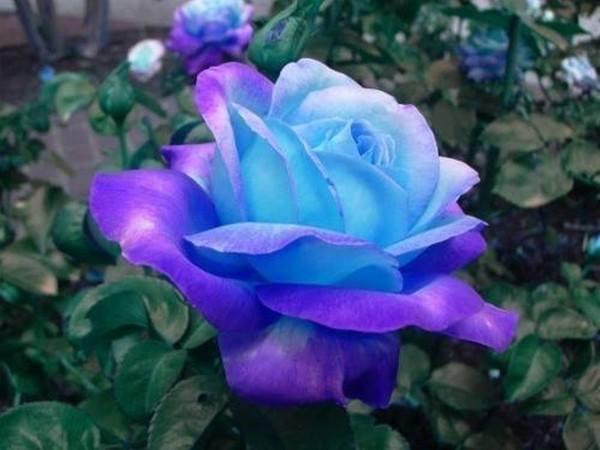 Fleurs bleues: C'est la couleur de la fraîcheur du romantisme. La couleur bleue crée l'illusion d'espace, elle symbolise la pureté, la fidélité mais aussi l'inaccessibilité. Un bouquet de fleurs bleues est souvent associé à un environnement sain rappelant la couleur pure du ciel,