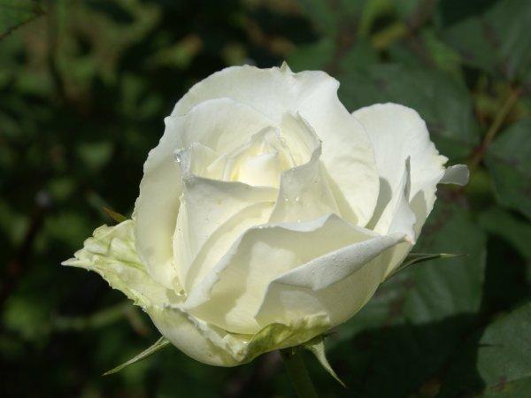 Les fleurs blanches amènent une touche d'élégance et de finesse. En effet, la pureté du blanc rappelle la sérénité, la candeur, le calme de l'âme, la délicatesse, l'honnêteté et bien sûr la fidélité.