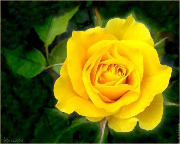 Fleurs jaunes: La couleur jaune dans un bouquet insiste sur la chaleur, la lumière, le soleil et l'harmonie. Couleur associée à l'or, les fleurs jaunes attirent l'attention et le regard, cette couleur sera utilisée lorsque vous chercherez à marquer durablement l'esprit de la personne qui recevra ce bouquet. Le jaune est la couleur de l'amitié,
