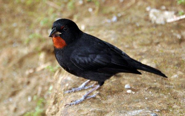 Ces petits oiseaux sont originaires de pays chauds et il existe de nombreuses variétés.