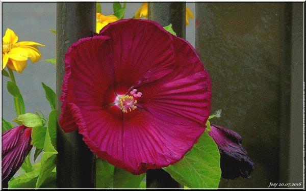 variétés de Hibiscus  Le genre comprend plus de 200 espèces