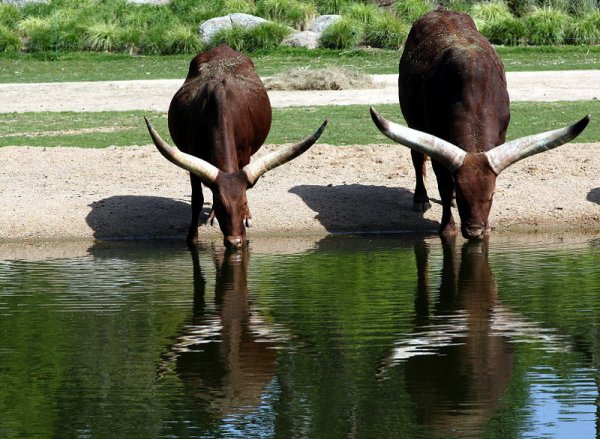 Le Watusi fait partie de la famille des bovidés et de la classe des mammifères. Ces animaux ont un poids qui peut varier de 500 Kg à 1000 Kg. Son espérance de vie est de 25 ans.
