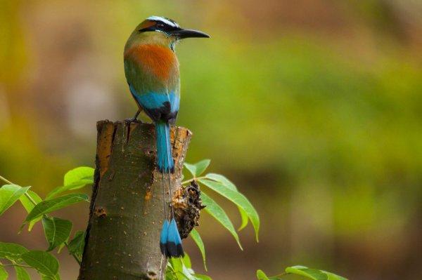 Le Motmot à sourcils bleus     Le Paradisier de Carola