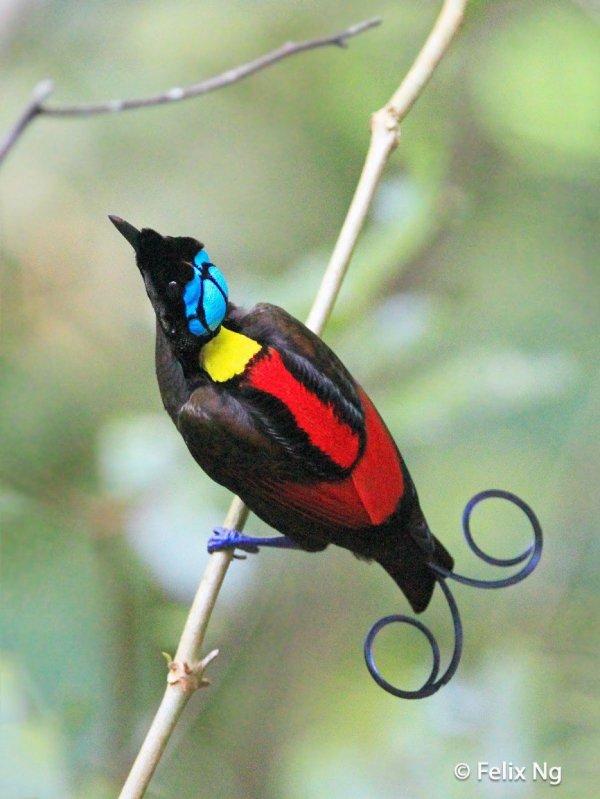 L'oiseau de Wilson du paradis    Le Trogon à nuque rouge