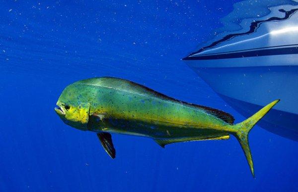 Les poissons de fond des Caraïbes