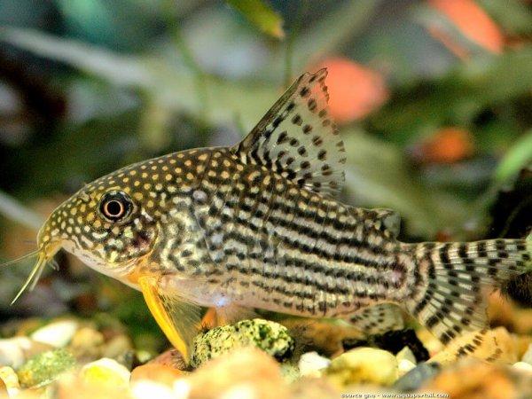 Les poissons de récif des Caraïbes