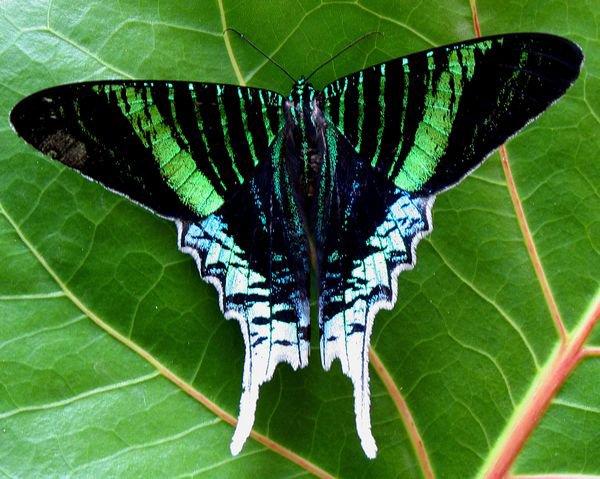 Zebra Lingwing Butterfly