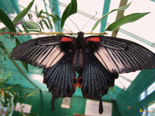 Papillon tropical : Le grand mormon (Memnon agenor)