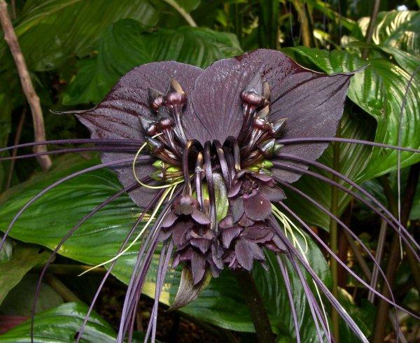 L'orchidée bourdon rieur!! Encore une orchidée un peu « creepy » – des hommes mystérieux !!  Tacca Chantrieri - Black Bat Plant !!