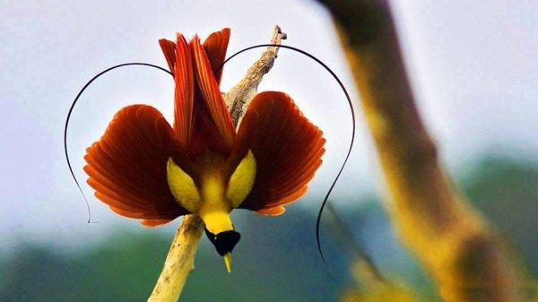 L'orchidée homme nu!! L'orchidée tête de singe !!!