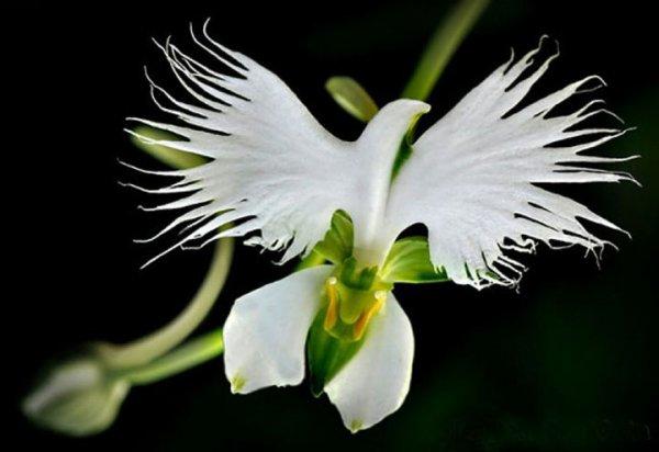 La fleur Dark Vador !! L'orchidée aigrette blanche !!  La fleur perroquet !!