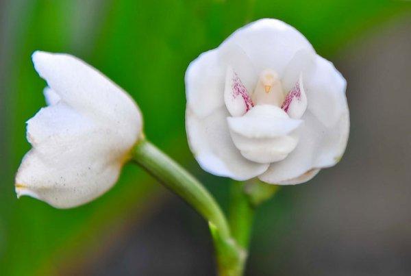 L'orchidée colombe !!  La fleur tête !! L'orchidée ange !!
