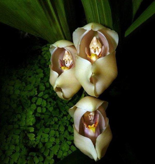 Des danseuses!! Des bébés dans les langes !!   Une orchidée qui ressemble à une danseuse étoile !!
