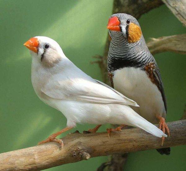 Le couple mandarin se retire lorsque vient le temps de l'accouplement et de la couvée.
