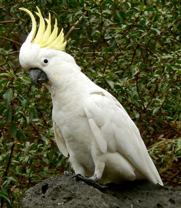 Bel oiseau,le cacatoès apprécié intelligent, habile puis communicatif puis qui est capable de demeurer très longtemps,
