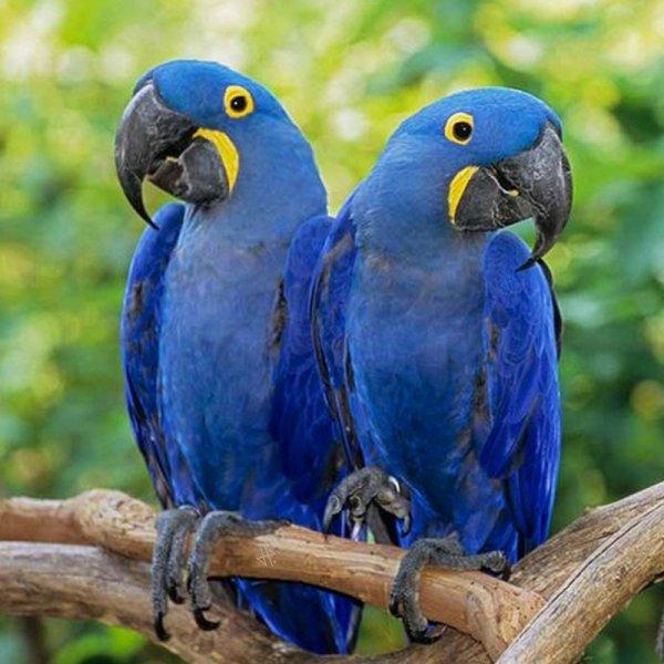 Les aras sont des perroquets des régions tropicales