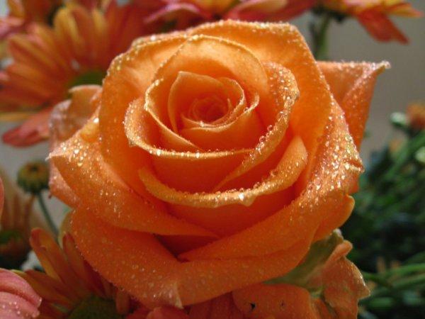 Orange Temoignent Du Desir Et De La Passion Fleur Exotique Rose