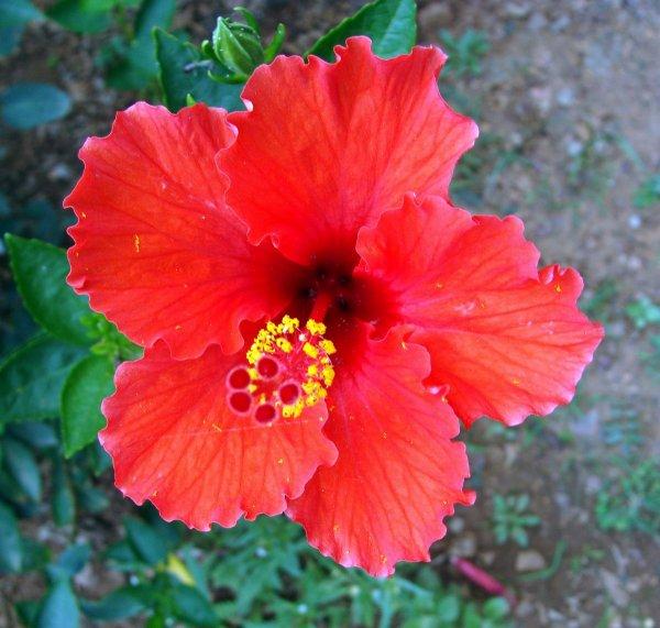 Fleurs des îles, l'incontournable hibiscus