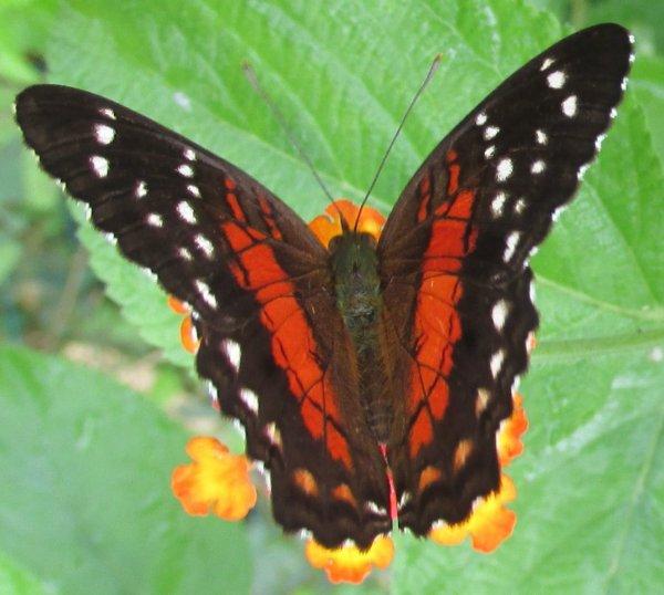 Le papillon annonce l'arrivée du printemps avec grâce et légèreté.