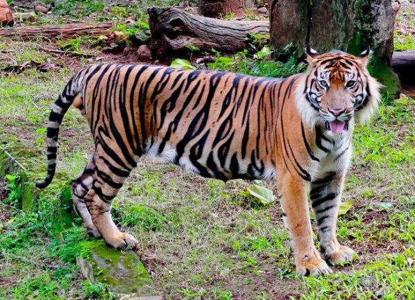Le tigre est une espèce de mammifère carnivore de la famille des félidés du genre Panthera.