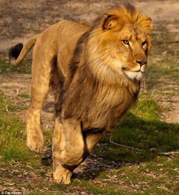 Le lion est le plus grand prédateur d'Afrique. Ce félin est surnommé « le roi des animaux »
