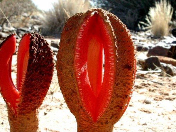 Des plantes insolites à travers la planète  Hydnora africana