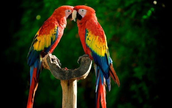 Couple de perroquets jolie couleur dans l'amour