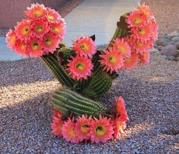 Cactus Fleur De Cactus Fleur Épineux