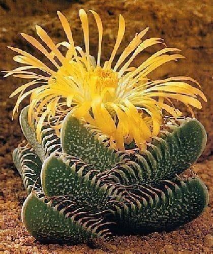 Sonoran, Fleurs, Poire, Cactus, Pricky