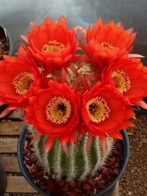 Cactus, Arizona Phénix, Fleurs, Désert, Rouges
