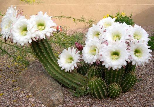 Blanc, Cactus, Fleurie