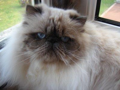 Voici Flynn gros pépère de 7 kg bleu point un amour de chat qui parle tout le temps