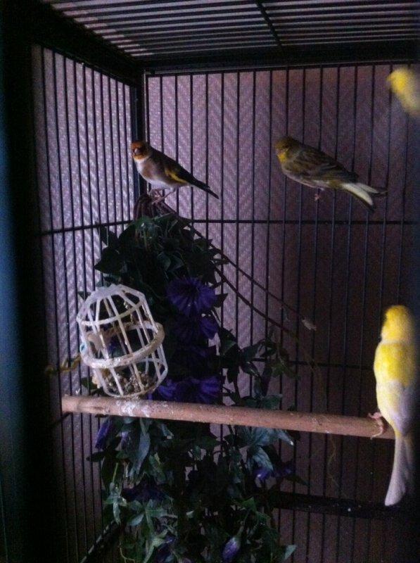 Mon chardo et mon serin canari