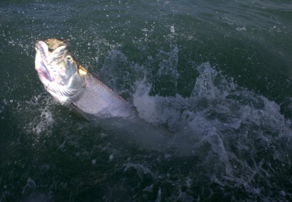 Session pêche du Tarpon aux îles du Salut (Guyane) - 15 août 2015