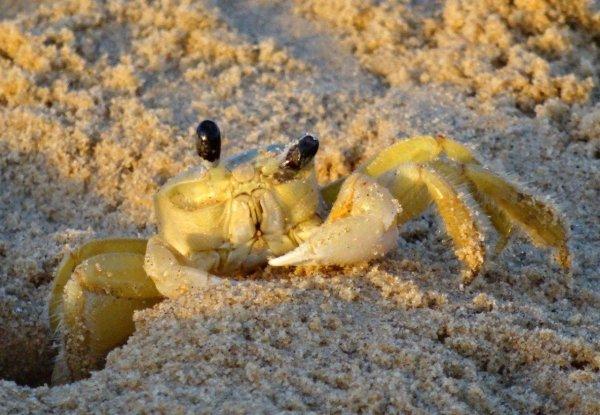 Crabes fantôme