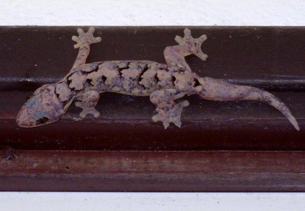 Reptiles de Guyane : Le Gecko