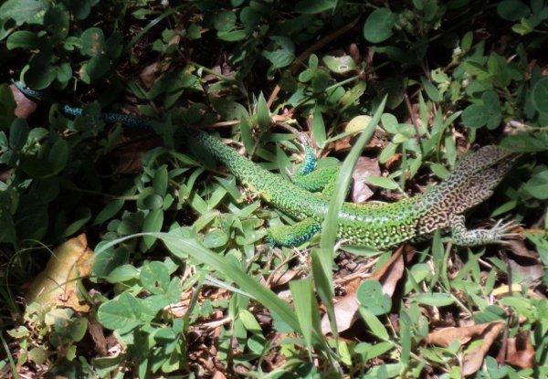 Reptiles de Guyane : Lézards